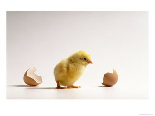 Freshly-hatched-baby-chick